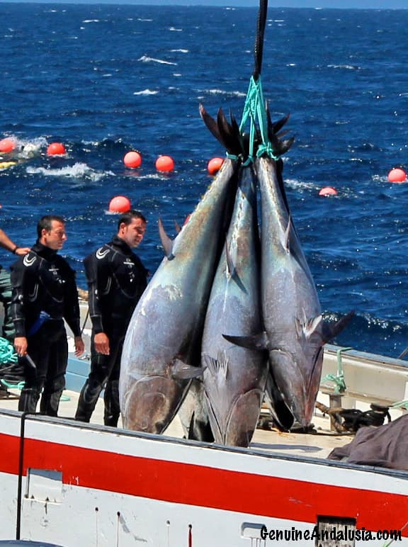 Red Tuna fished out from the Almadraba in Cadiz, Spain