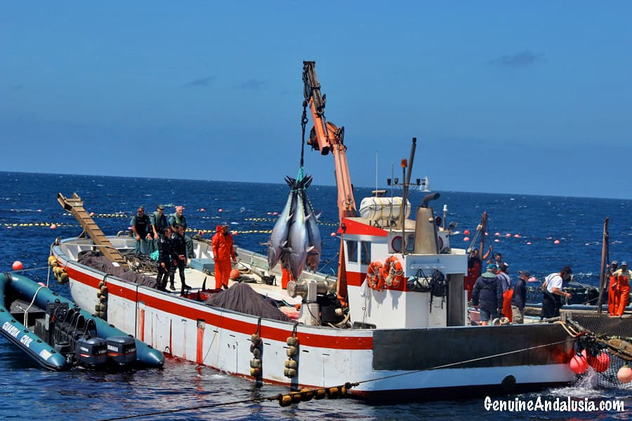 Red Tuna being fished in Barbate Almadraba. Spain