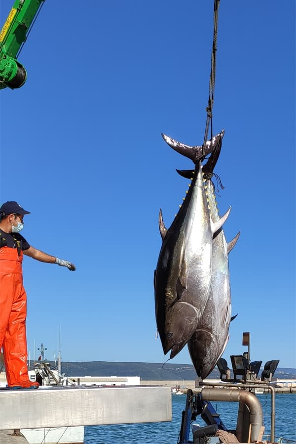 Red Tuna caught in the Almadraba arriving to the fishing port of Barbate