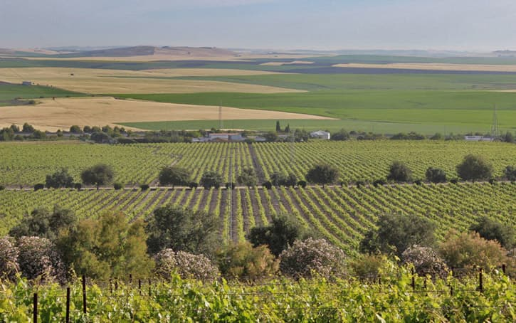 Vineyard landscape in the sherry triangle