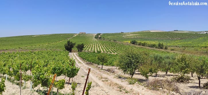 Vineyard in the Sherry Triangle
