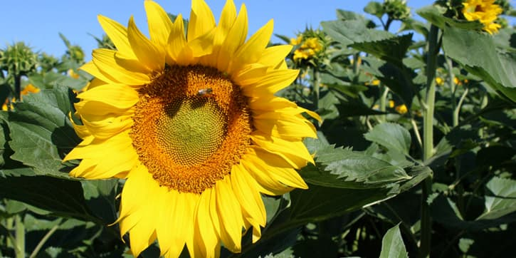 A sunflower in Andalusia, Southern Spain