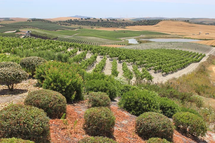 A landscape of rolling hills with vines in Southern Spain