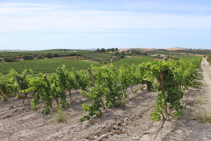Vines that visitors see during the tours at Bodega Miguel Domecq